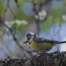 Parus caeruleus / Blue Tit